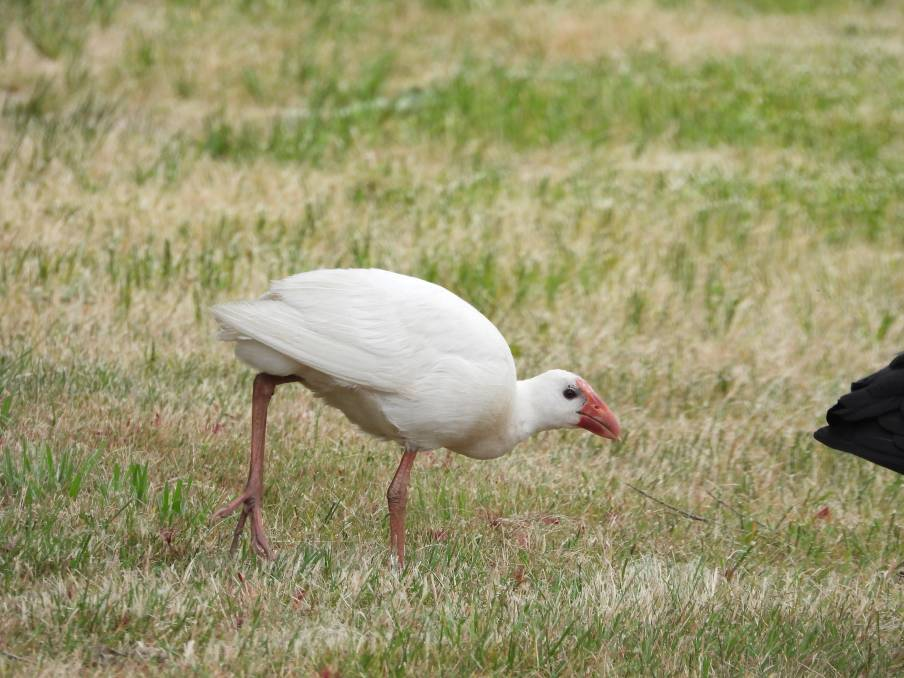 UNIQUE SIGHTING: A rare white-coloured swamphen at the North Gardens Wetlands alongside Lake Wendouree is evidence swamphens can and do travel long distances. Picture: Jeffrey Crawley.