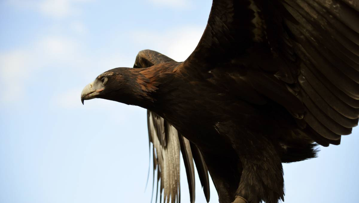 TAKING FLIGHT: the wedge-tailed eagle is Australia's largest bird of prey and vulnerable to wind turbine strikes. Picture: Shutterstock/ Susan Flashman