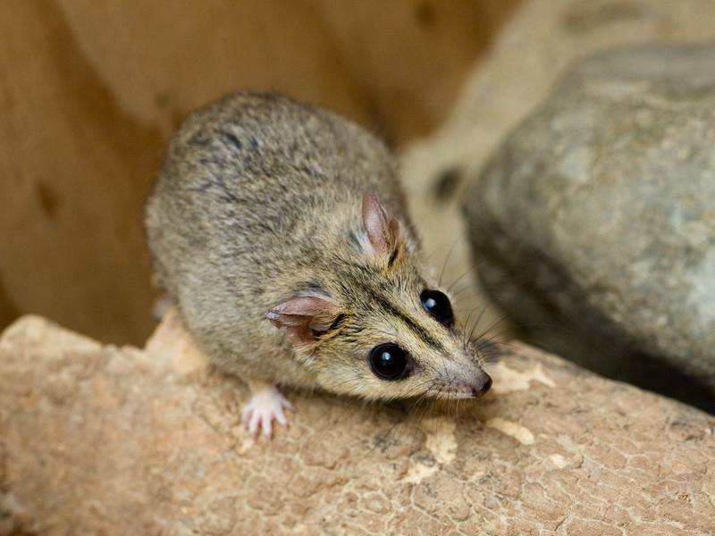 The endangered Julia Creek Dunnart may be pushed to the brink by the north Queensland flooding.
