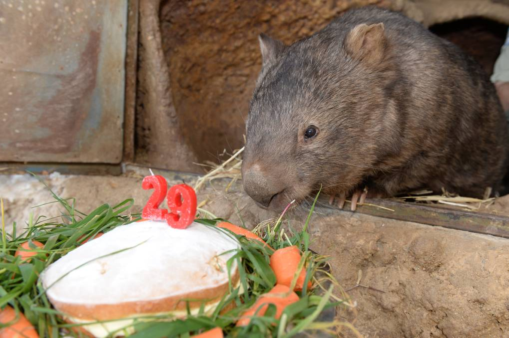 Patrick the wombat celebrating his 29th birthday at the Ballarat Wildlife Park. PICTURE: KATE HEALY